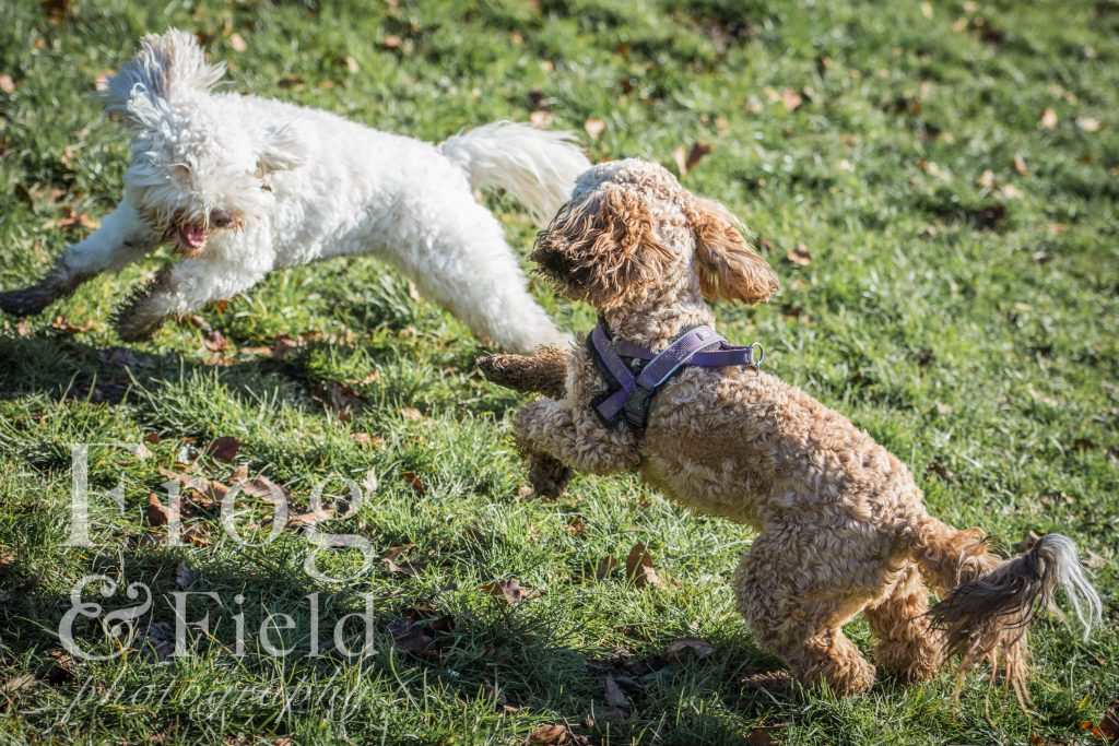 Kent Cockapoo Mote Park by Frog and Field